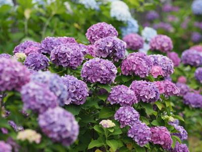 03紫陽花の花.jpg