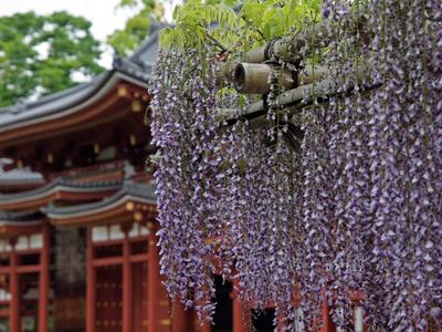 12平等院鳳凰堂と藤の花.jpg