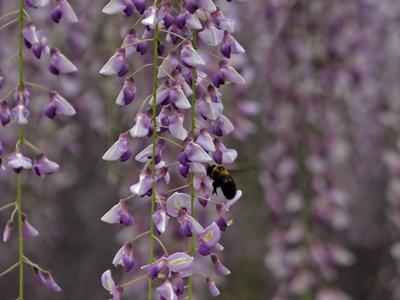 13平等院の藤の花に蜂.jpg