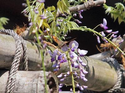 14平等院の藤の花にアカタテハ.jpg