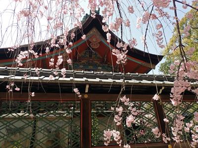 15御香宮・本殿と枝垂れ桜.jpg
