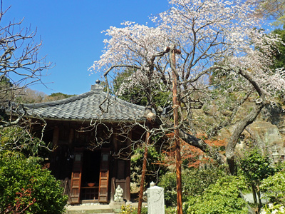 15瑞泉寺どこもく地蔵堂のサクラ.jpg