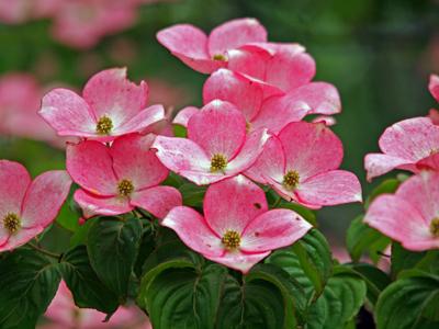 22赤いヤマボウシの花.jpg