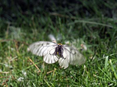 24ヒメウスバシロチョウ飛翔.jpg