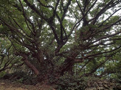 28アコウの巨樹.jpg